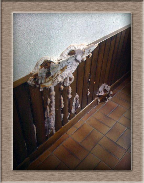 Pht humidit m rule serpula lacrymans ou autres champignons lignivores des maisons - Champignon de maison merule ...
